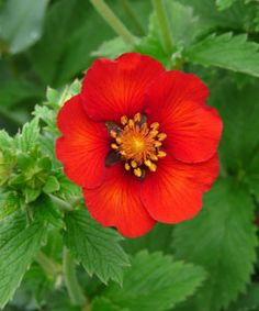 Potentilla x cultorum 'Flamenco' - Fingerkraut