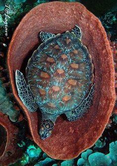 Blue sea turtle in a coral tub.