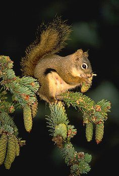 picture of Squirrel With Pine Cone Image