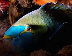 Parrotfish photo by Rob Swanson.