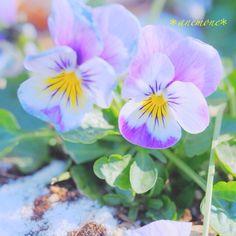 #パンジー#ビオラ#pansy#viola#花#flower