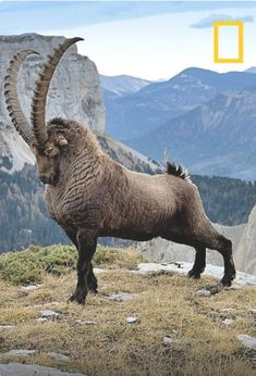Wow. This ibex ram has struck such a majestic pose, he looks almost too perfect to be real.