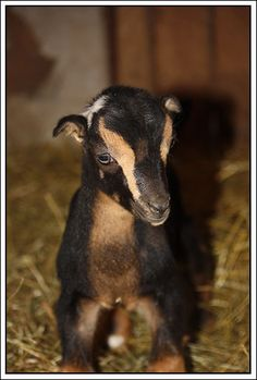 LaMancha kid :) someday I will own these adorable little guys.