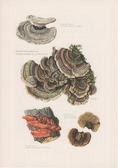1963 Turkey Tail Mushroom, Antique Print, Vintage Lithograph, Trametes versicolor, Coriolus versicolor, Polyporus versicolor, Pilz, Fungi