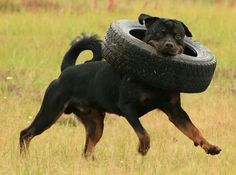 16 Reasons Rottweilers Are Not The Friendly Dogs Everyone Says They Are