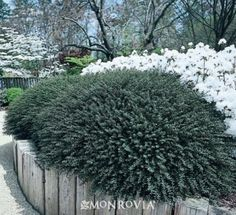 1000 images about evergreen trees shrubs on pinterest for Low maintenance border shrubs
