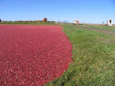 The cranberry blogs in Wisconsin Rapids.  It amazes me Wisconsin produces 57% of the United State's cranberries!  Wow!