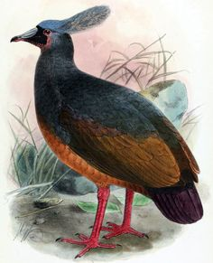 2613. Choiseul Pigeon (Microgoura meeki) | endemic to the island of Choiseul in the Solomon Islands, although there are unsubstantiated reports that it may once have lived on several nearby islands | The last unconfirmed report of the pigeon was in the early 1940s, and the species is considered extinct.