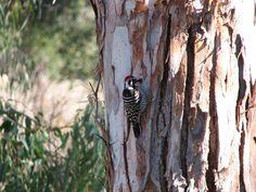 Woodpecker in Napa