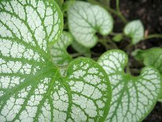 Leaves of Brunnera macrophylla Jack Frost. May 2010