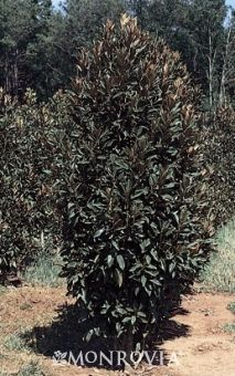 A columnar form that remains upright and tight year after year without pruning (slow-growing, 20 feet tall, 9 feet wide in about 10 years). Lustrous dark green leaves have rusty undersides. White, cup-shaped fragrant flowers
