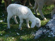 Jehně - Lamb - Slovenia - 2012