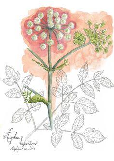angélique sylvestre, angelica sylvestris