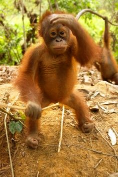 Baby Orangutan Looking out for her Mummy Primates, Mammals, Cute Baby Animals, Animals And Pets, Funny Animals, Strange Animals, Beautiful Creatures, Animals Beautiful, Orang Utan