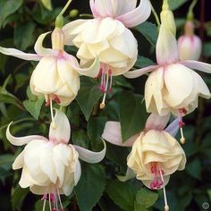 Fuchsia Annabel - 1 plant Buy online order yours now Dwarf Flowering Shrubs, Garden Shrubs, Flowering Trees, Exotic Plants, Exotic Flowers, Pink Flowers, Beautiful Flowers, Begonia, Dog Friendly Garden