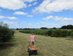 Jossy Peach farm in Hillsboro, Oregon 2016