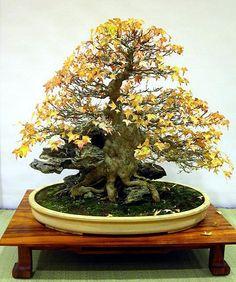 Bonsai japanese maple Root over rock style looks like a trident maple to me Ikebana, Plantas Bonsai, Bonsai Plants, Bonsai Garden, Bonsai Trees, Acer Bonsai, Bonsai Artificial, Bonsai Meaning, Mini Plantas