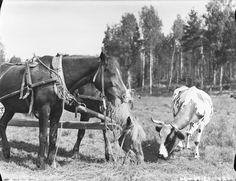 "Finnish horses and cow ... ""Hevoset ja lehmä"" ... The cow is a Finnish Ayrshire ... suomenmuseotonline.fi/fi"