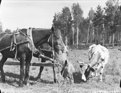 "Finnish horses and cow ... ""Hevoset ja lehmä"" ... The cow is a Finnish Ayrshire ... suomenmuseotonline.fi/fi"