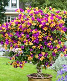 Bougainvillea geel/paars