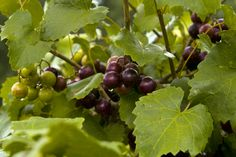 Muscadine Grapevine Planting: Information On Muscadine Grapevine Care - Muscadine grapes are indigenous to the Southeastern United States. Native Muscadine grapevine plantings have been cultured for over 400 years for use in wine making, pies and jellies. Learn how to grow these grapes here.