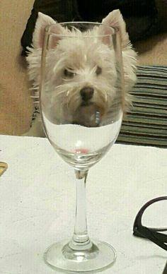 My dear Maru! My Westie!  내 마루 - West Highland White Terrier