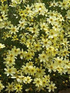 Power perennials plants that thrive no matter what perennials coreopsis moonbeam 18 mounding flowers all summer long if you deadhead can mightylinksfo Image collections