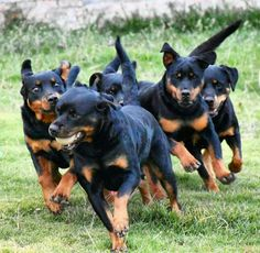Gorgeous pack of rotties
