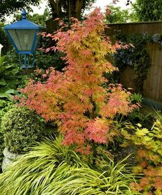 Orange Dream Japanese Maple Tree Grows up to 10' H; 5' to 8' spread Perennial Full to partial sun Hardiness zones: 4 to 8