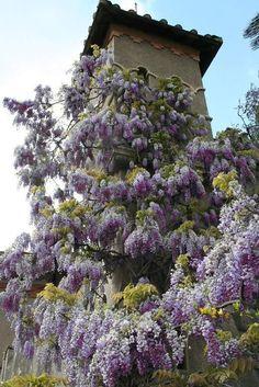 Wisteria Purple Wisteria, Purple Haze, Spring Air, Old Oak Tree, Porch Swing, Lush, Vines, Landscapes, Around The Worlds