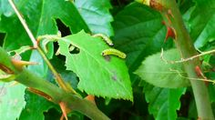 caterpiller on a leaf
