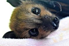 They range from the world's smallest mammal, the tiny bumblebee bat that weighs less than a penny to giant flying foxes with six-foot wingspans. Description from romancingthebee.com. I searched for this on bing.com/images