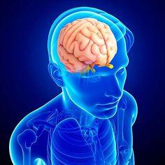 Uma glândula, endócrina, do corpo humano - a pineal. Uma pequena ervilha no meio da cabeça. Outra glândula, também endócrina - a hipófise ou pituitária. Outra pequena ervilha, na frente da pineal