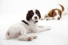 """Brittany Spaniel puppy and his older """"brother"""".  Reggie Dunlop and Ogie Oglethorpe named after characters from the best sports movie EVER made...Slapshot"""