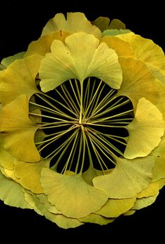 Ginko. This is the ginko tree leaf it is also the symbol for Banks in Japan, the ginko fruit when left to rot smells quite horrid. My high school had these trees and the fall was an extremely smelly season for us students.