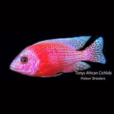 "Aulonocara Firefish ""ICE"" bred by us #african #malawi #cichlids #tonysafricancichlids"