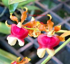 Oncidium 'Hawaiian Sunset' (Synonym: Miltonidium 'Hawaiian Sunset') is an epiphytic orchid-hybrid, - a crossi between Oncidium 'Pupukea Sunse't (Seed-parent) and Oncidium fuscatum (Pollen-parent). Photo © Orchids Flowers.com