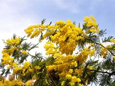 """""""mimosa"""" flowers. love this flower in the calypso mimosa perfume!"""