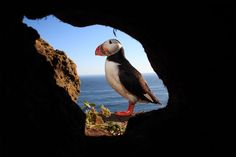 A photo of an Atlantic Puffin in Iceland.