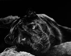 Panther | Melissa Helene Fine Arts + Photography www.melissahelene.com 11x14 #scratchboard #panther #wildlife #artwork #cat #blackandwhite