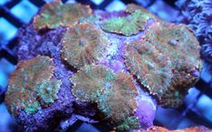 Coral and Live Rock 177797: Live Coral! Rainbow Rhodactis Mushroom Colony Reef Addicted Wysiwyg Lps -> BUY IT NOW ONLY: $165.0 on eBay!