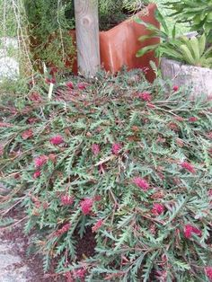 Grevillea 'Austraflora Fanfare' [Cultivar] part of the Proteaceae family with Burgundy-red flowers flowering in Spring-summer avaliable from Australian Native Plants located in Ventura, CA Australian Native Flowers, Plants, Australian Garden Design, Native Plant Gardening, Native Garden, Winter Plants, Australian Native Garden, Drought Tolerant Garden, Native Plants