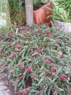 Grevillea 'Austraflora Fanfare' • Australian Native Plants Nursery • Plants • 800.701.6517