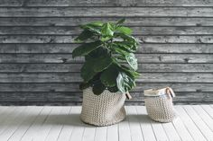 the pot plant man - caring for fiddle leaf figs