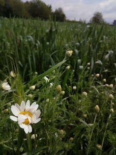 #spring #wheat