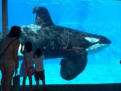 orca at Seaworld! They plan to build a bigger tank - but a prison is still a prison!