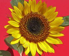 My Sunflowers <3