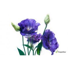 Lisianthus Misty Blue