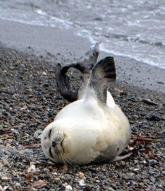 写真:海岸に現れたアザラシ。時折、脚を伸ばすことも=17日午後、神奈川県平塚市
