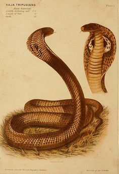 The poisonous snakes of India.. London:J. & A. Churchill,1878..
